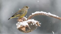 Under unexpected snowstorm, portrait of European greenfinch (Chloris chloris)