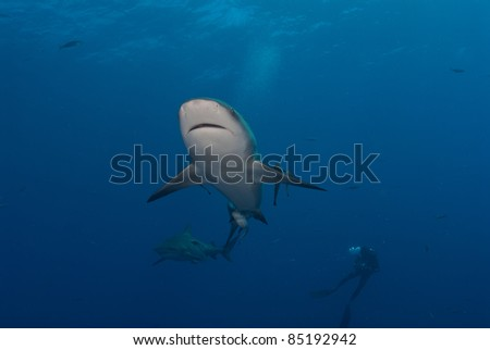 Under view of a bull shark with a diver in the background, Mozambique