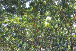 Under view of big raintree with many stem brach and leafs