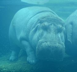 Under water hippopotamus (Hippopotamus amphibius), or hippo, from the ancient Greek for