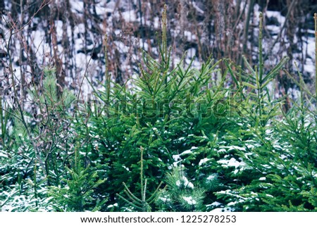 Undergrowth of coniferous trees in winter. Small firs and pines. Forest undergrowth as the main object of attention of forestry, as evidence of the natural renewal of the forest