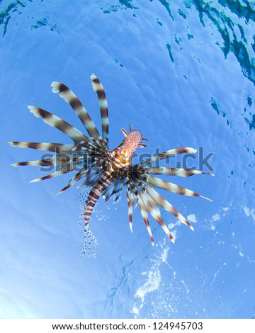 Underside of a lion-fish with clear blue water looking like the sky.