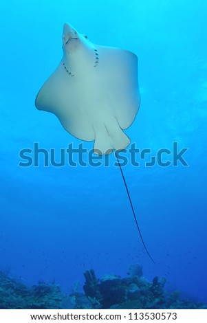 Underside of a swimming Eagle Ray