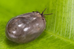 Underside of an engorged female deer tick in detail. Ixodes ricinus. Bloated parasitic mite with a brown-gray body full of blood on a green leaf background. Acari. Carrier of tick-borne diseases.