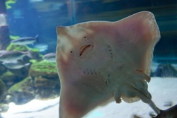 Underside of Stingray, showing mouth and gill slits. Fish with a human like facial expression, happy face. Pelagic fish