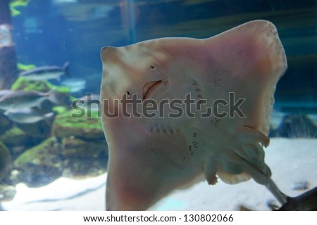 Underside of Stingray, showing mouth and gill slits. Fish with a human like facial expression, happy face. Pelagic fish #130802066