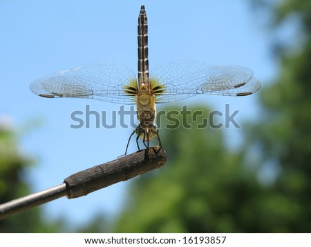 Underside view of a dragonfly perched on a car antenna.