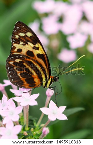 Underside wings view of Harmonia tiger poison butterfly seated on flowers in tropical rainforest