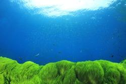 Underwater background. Green Algae and blue ocean