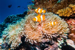 Underwater close up shot of clown fish, nemo fish living and swimming in their anemone home among colorful coral