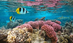Underwater colorful coral with tropical fish in shallow water, Pacific ocean, Huahine, French Polynesia