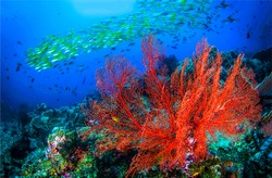 Underwater coral fish shoal view. Coral fishes underwater. Coral fish shoal underwater scene. Red coral underwater