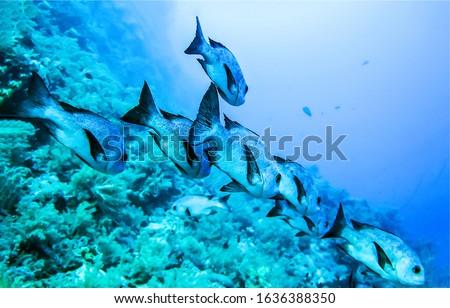 Underwater coral fish shoal view. Fish shoal underwater scene. Underwater coral fishes