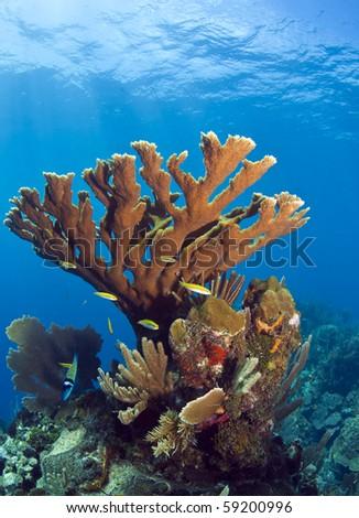 Underwater coral reef off the coast of Roatan Honduras Jackson hole