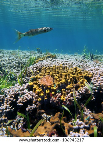 Underwater coral reef with yellow tube sponges and a barracuda close to water surface, Caribbean sea