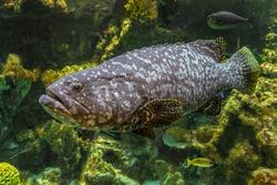 Underwater giant grouper fish. Big Epinephelus itajara.