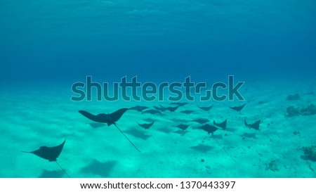 UNDERWATER: Group of beautiful black eagle stingrays swim along the clean sandy ocean floor. Cool shot of a school of stingrays roaming around the depths of the calm turquoise colored Pacific Ocean.