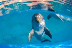 Underwater image of a bottlenose dolphin in a pool staring directly at the camera. Another dolphin can be seen in the background