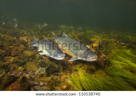 Underwater image of arctic chars (Salvelinus alpinus) in clear water river, Greenland
