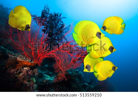 Stock Photo Underwater image of coral reef and School of Masked Butterfly Fish