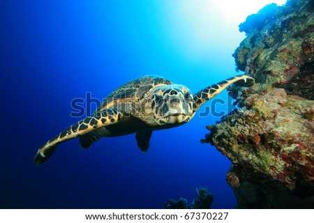 Underwater Image of Hawksbill Sea Turtle swimming towards the camera