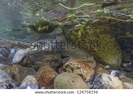 Underwater image of sea trouts (Salmo trutta) hiding between rocks after spawning in small creek