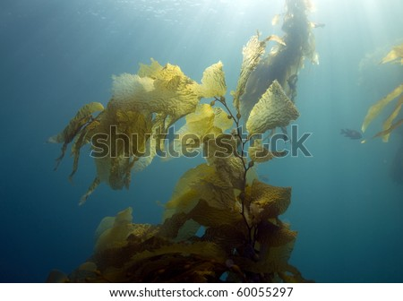 underwater kelp forest scene with fish, casino point, catalina island, california. exotic ocean or sea plant in blue saltwater with sunlight filtering
