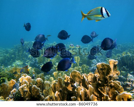 Underwater landscape in a coral reef of the Caribbean sea with a school of tropical fish