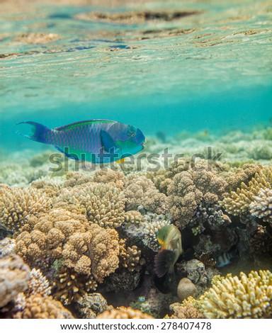 Underwater landscape. Red sea coral reef.  Big scarus fish swimming around