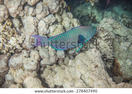 Underwater landscape. Red sea coral reef. Medium size green scarus fish