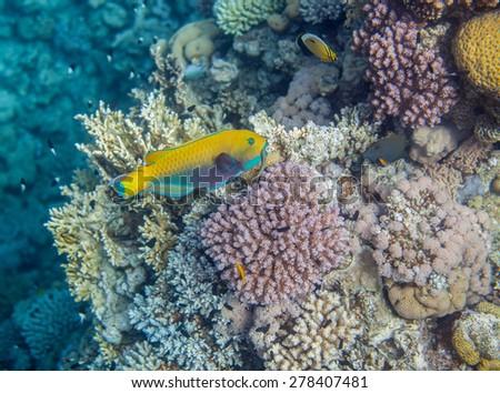 Underwater landscape. Red sea coral reef. Medium size yellow scarus fish