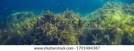 underwater landscape reef with algae, sea north, view in the cold sea ecosystem Сток-фото ©