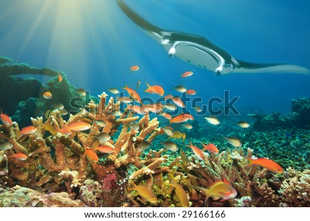 Underwater landscape with tropical fishes and manta ray. Borneo