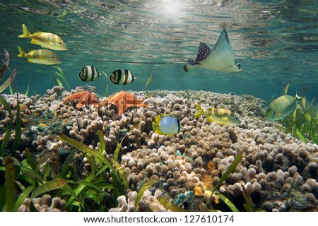 Underwater life in a shallow coral reef with tropical fish, starfish and an eagle ray