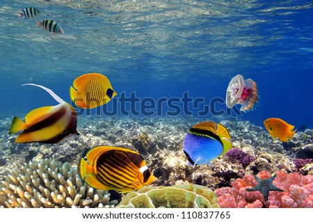 Stock Photo Underwater life of a coral reef, Red Sea, Egypt.