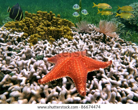 Underwater life on the seabed of the Caribbean sea with starfish on coral, sponge, marine worm and tropical fish
