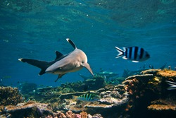 Underwater life. Photo with whitetip reef shark and little striped fish made in open water of Pacific ocean close a wild coral reef.
