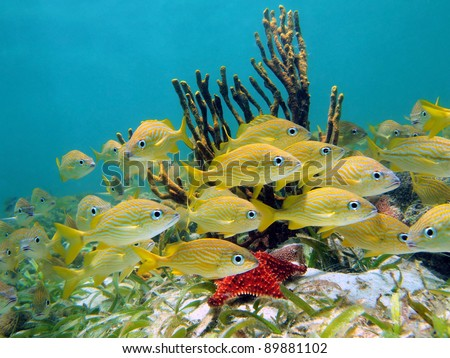 Underwater life with a shoal of french grunt fish and rope sponge in the Caribbean sea, Panama