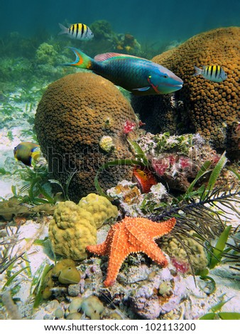Underwater marine life on the seabed in the Caribbean sea with Great Star coral, colorful fish and a starfish