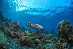 Underwater marine wildlife postcard. A turtle floating over corals under water surface with sun on it. Closeup image from Maldives