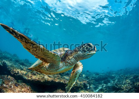 Photo of  Underwater marine wildlife postcard. A turtle sitting at corals under water surface. Closeup image from Maui island in Hawaii