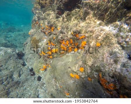 Underwater Mediterranean sea in Cabo de Gata Nijar nature reserve Andalusia Spain. Orange coral Corralete beach near the Cabo de Gata lighthouse.