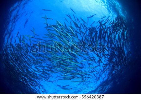 Underwater ocean and fish, School of Barracuda fish in sea. Blue water background #556420387