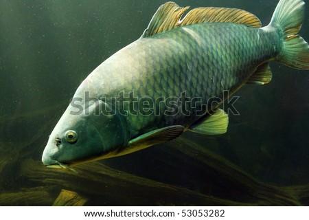 Underwater Photo Big Carp (Cyprinus Carpio) in Bolevak Pond - famous anglig and diving place - Pilsen City Czech Republic Europe