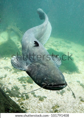 Underwater photo big Catfish (Silurus Glanis). Trophy fish in Hracholusky Lake - Czech Republic, Europe.