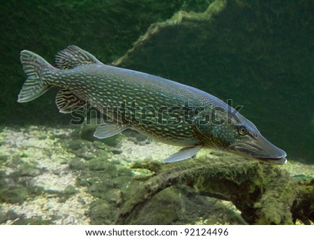 Underwater Photo Big Pike (Esox Lucius). - stock photo