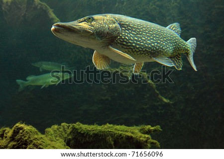 Underwater Photo Big Pike (Esox Lucius) in Bolevak Pond - famous anglig and diving place - Pilsen City Czech Republic Europe