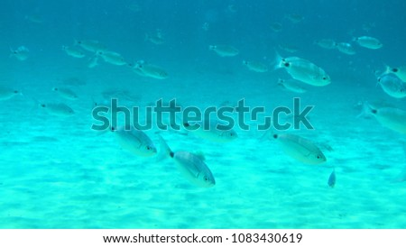 Underwater photo from iconic picturesque turquoise clear water beach of Agios Sostis with small fish in island of Mykonos, Cyclades, Greece