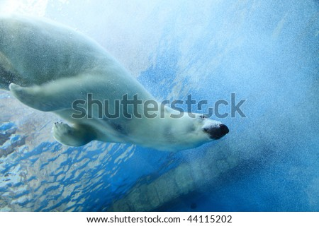 Stock Photo Underwater photo of a Polar Bear