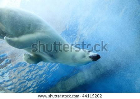 Underwater photo of a Polar Bear